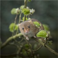 -Harvest Mouse-Mick Jennings