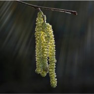 Highly Commended-Catkins-Mike Edwards ARPS ABPE DPAGBav