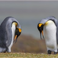 Highly Commended-King Penguin Courtship-Dawn Osborn FRPS EFIAP BPE5 DPAGB