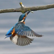 -Kingfisher to Perch with Fish-Van Greaves FRPS