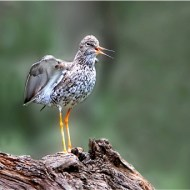 -Redshank Calling-Robert Jones