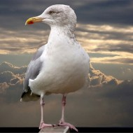 -Seagull-Harvey Bird