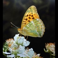 -Silver Washed Fritillary-Ray Shorthouse