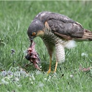 -Sparrowhawk with Prey (W)-Robert Jones