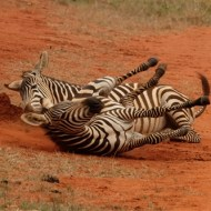 -Tsavo Zebra-Charles Turner