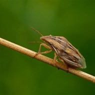 -Bishops Mitre Shield Bug-Geraldine Stephenson