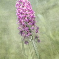 Commended-Orchid-Sue Vernon