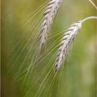 Commended-Ears of Wheat-Ray Allen