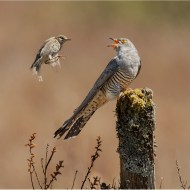 Cuckoo with Meadow Pipit-Philippa Wheatcroft