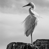 Highly Commended-Egret Curves-Kerry Allen
