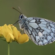 Highly Commended Male Marbled White David Myles