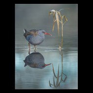 Commended Water Rail with Rush 6361 Philippa Wheatcroft