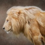 Commended Profile of a White Lion Sandra Starke