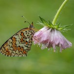 Highly Commended Glanville Fritillary Geraldine Stephenson