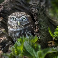 Commended Little Owl Malcolm Hodgetts