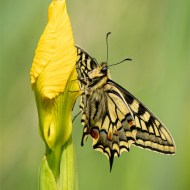 Commended Swallowtail Butterfly Geraldine Stephenson
