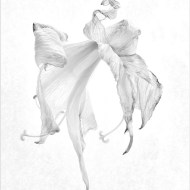 Highly Commended Dancing Amaryllis, Bob Dallow