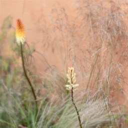 Commended Hot Pokers in the Grasses Dinah Jayes