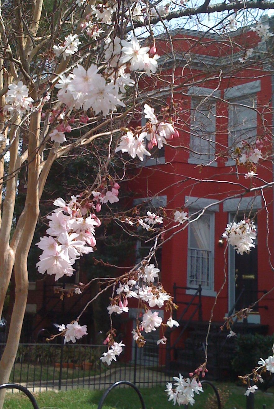 March 21: The cherry blossoms are starting to bloom.