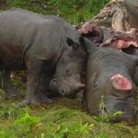 Rhino poaching, rape & rot.