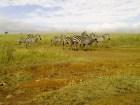 le zebre sono grandi come gli asini