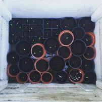 Amy's seedlings