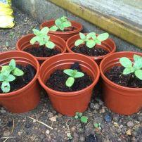 Maz's seedlings