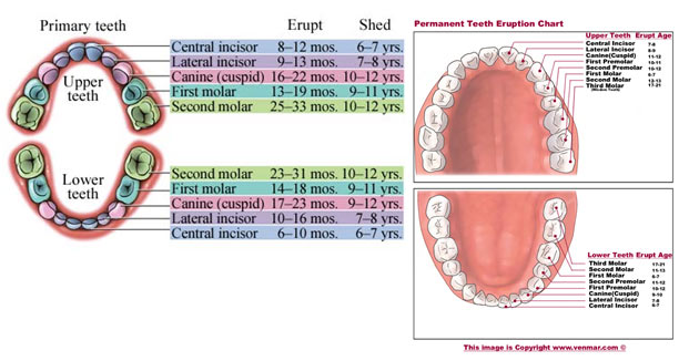 tooth-eruption-chart