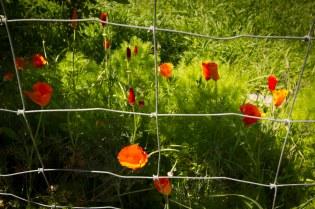 poppy's beauty unrestrained