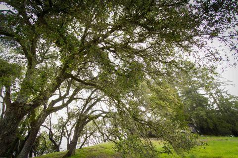 oaks & redwoods bridging earth & sky