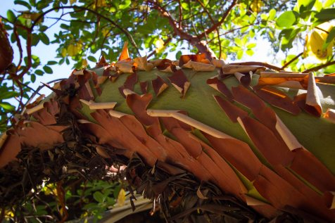 madrone 3