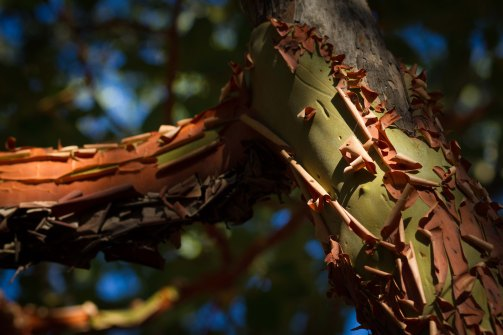 madrone 6