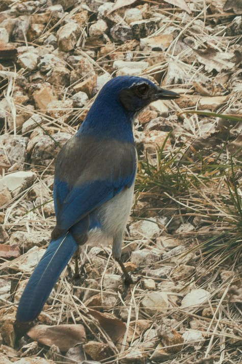 shaking blue tail feathers