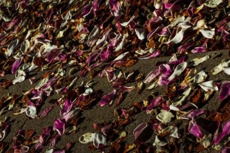 magnolia rains petals