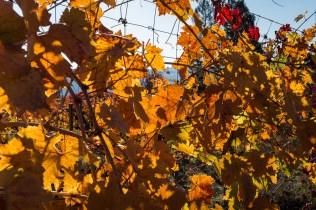 white grape leaves
