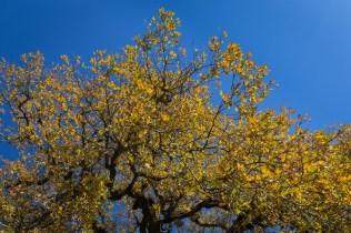 blue sky, yellow oak