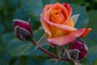 pretty rose 4