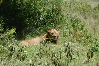 Male adolescent lion