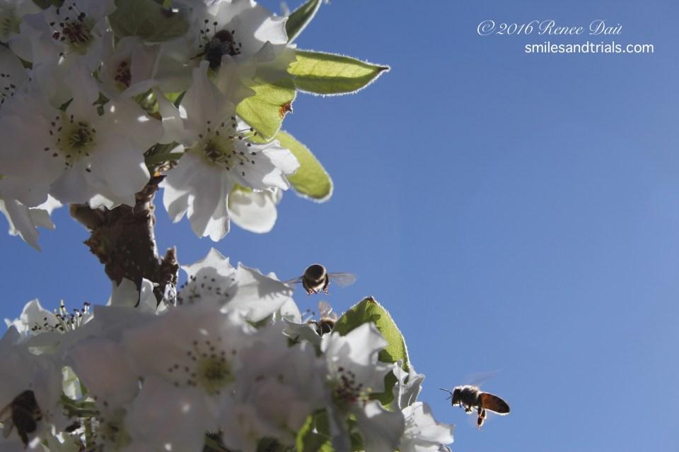 3474 pear blossom