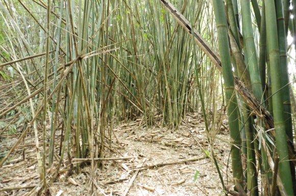 Beaucoup de bambou au début...