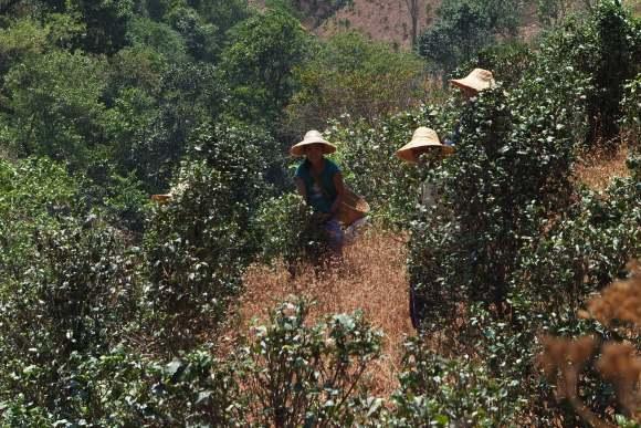 Dans les plantations de thé