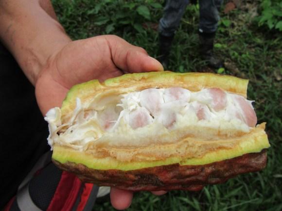 Cosse de cacao ; la pulpe blanche se mange et est très douce, pas du tout chocolatée