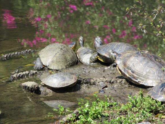 Les dernières tortues du TDM !
