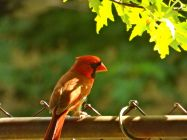 Cardinal drops in too