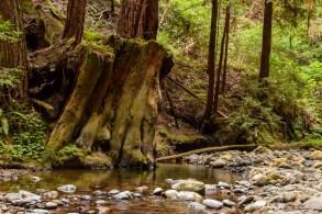 Portola Redwoods CA State Park - South Bay | Smiling in Sonoma
