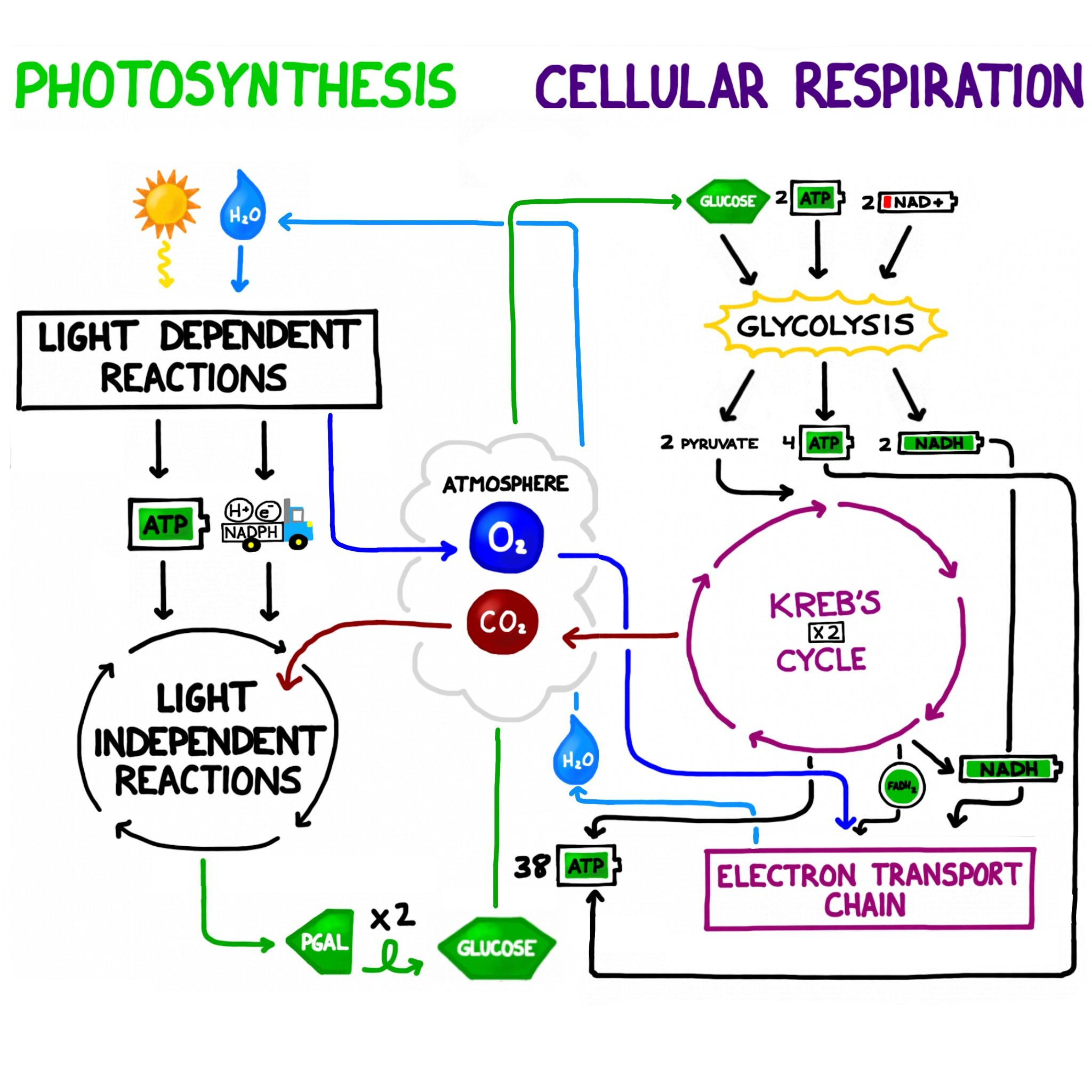 30 Cellular Respiration Review Worksheet