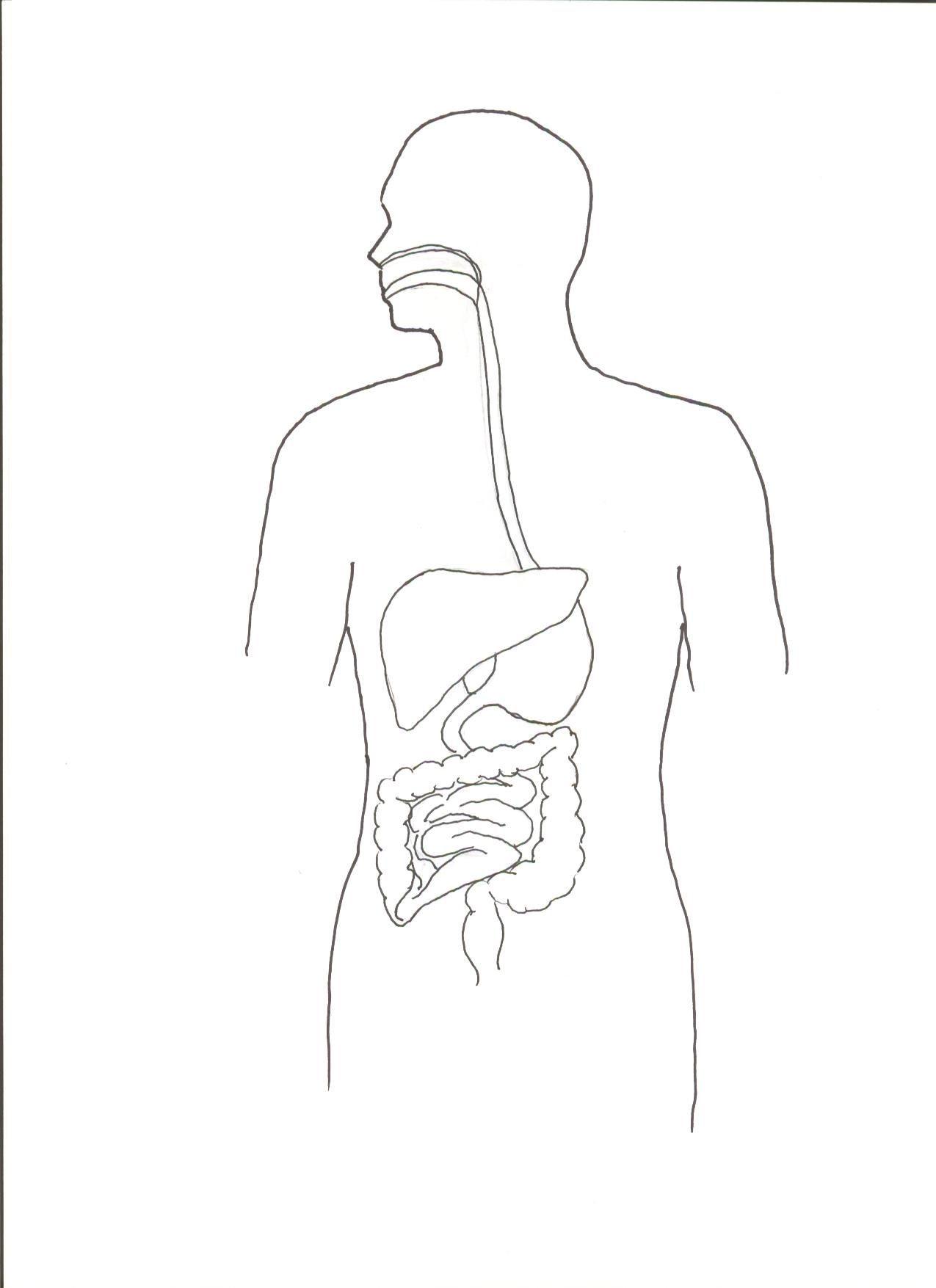 30 Digestive System Worksheet High School