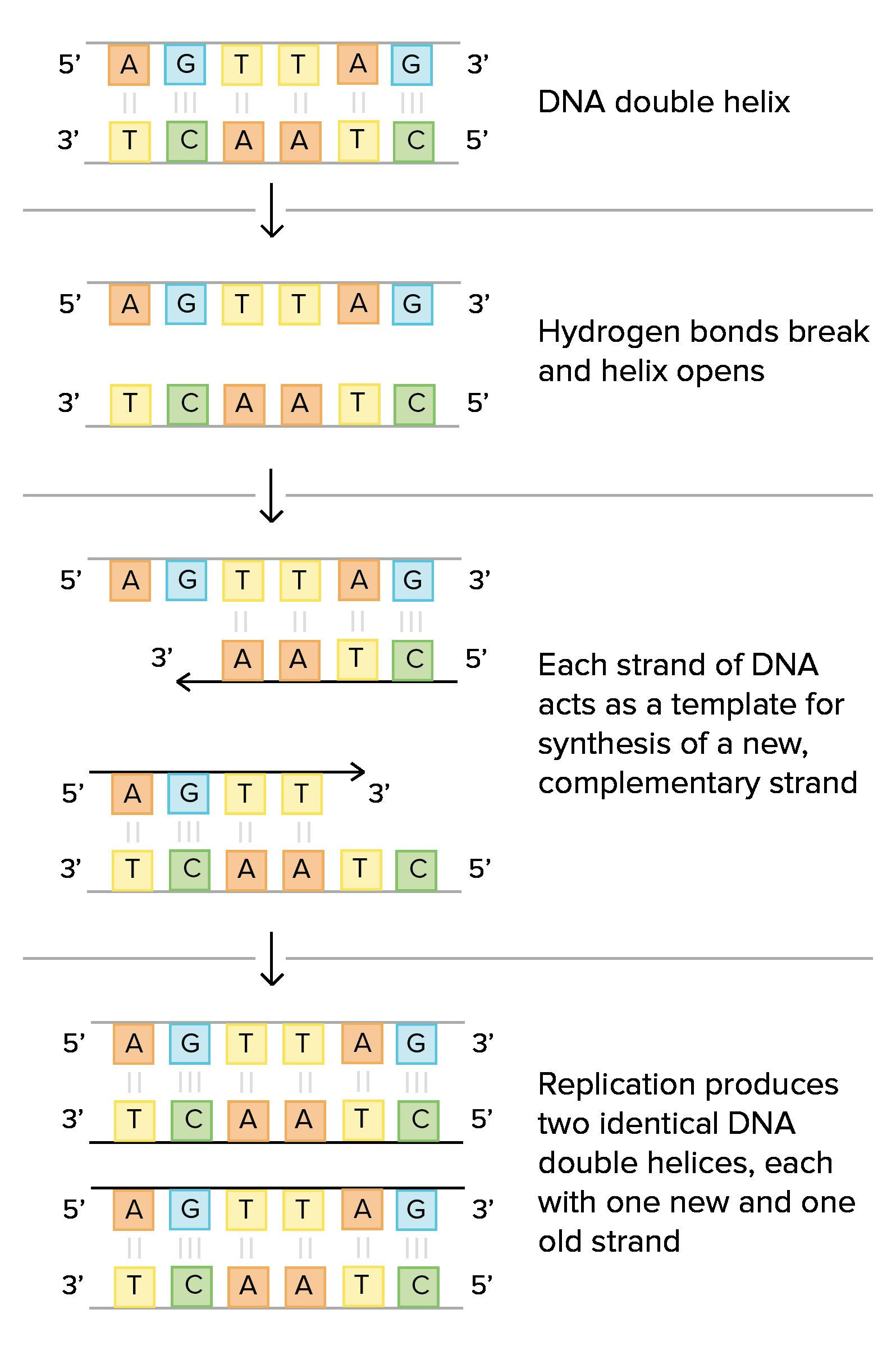 30 Dna Structure And Replication Worksheet