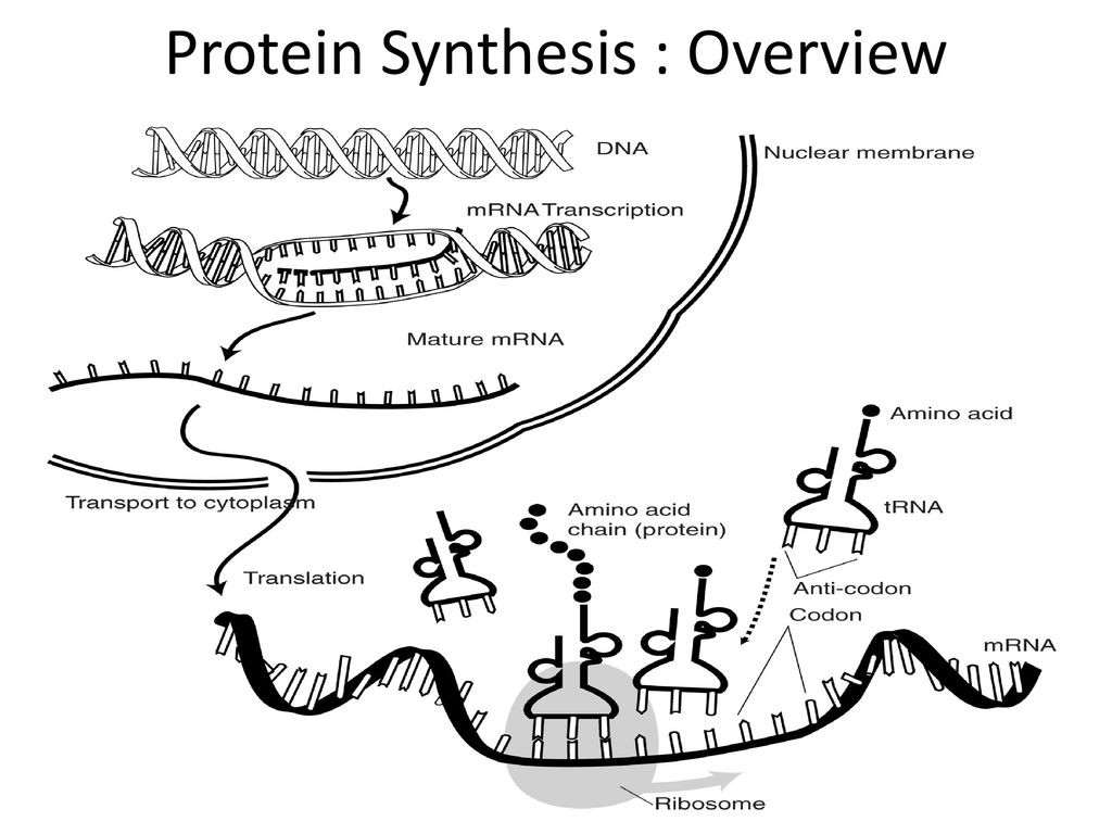 30 Protein Synthesis Worksheet Answers