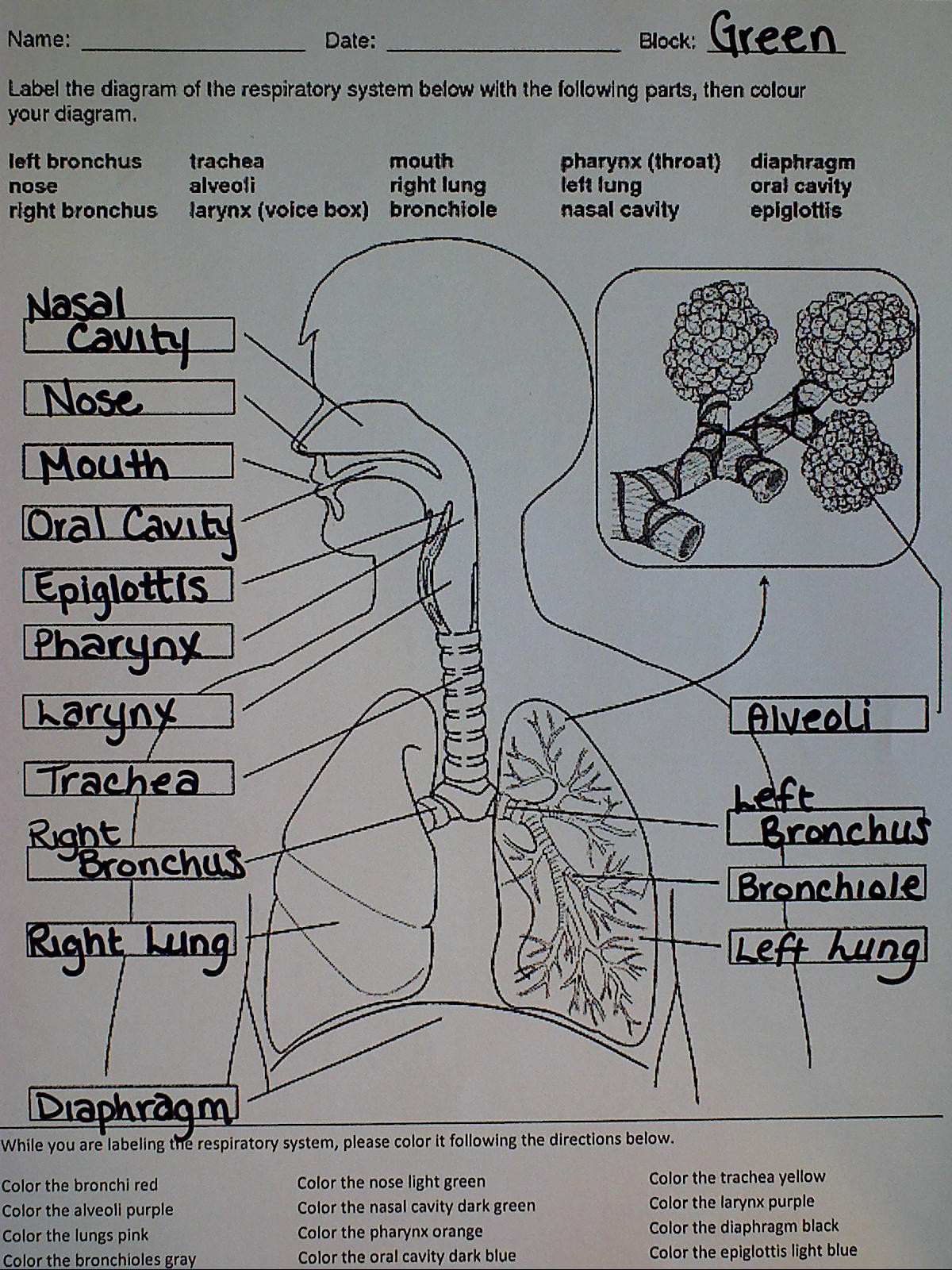 The Respiratory System Worksheet Education Template
